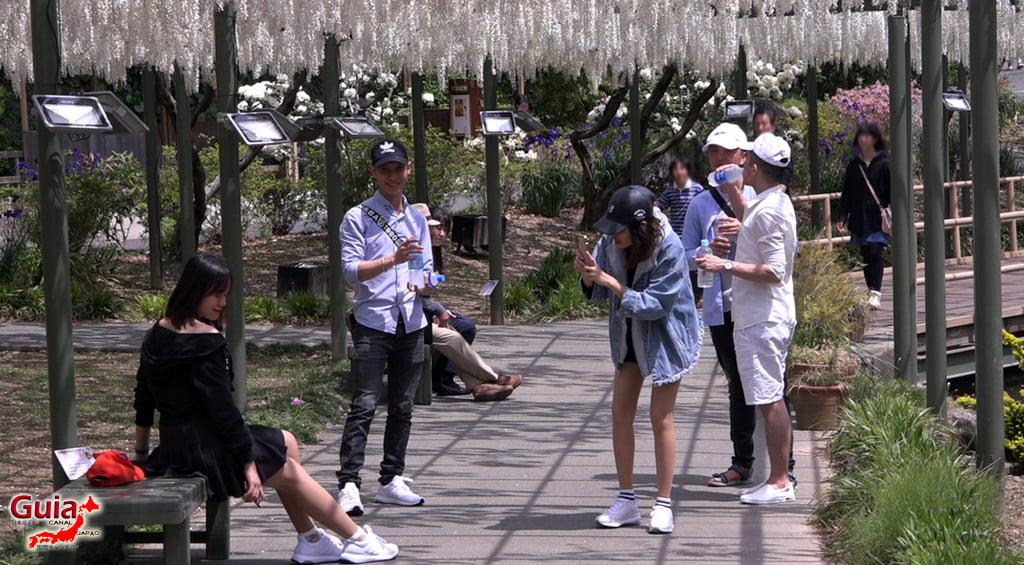 Fuji Flower - Wisteria Season 34