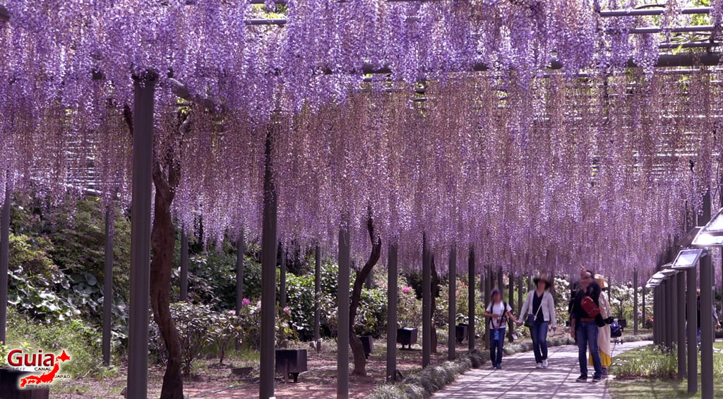Fuji Flower - Wisteria Season 35