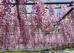 Fuji Flower - Wisteria Season 3