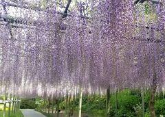 Fuji Flower - Wisteria Season 1