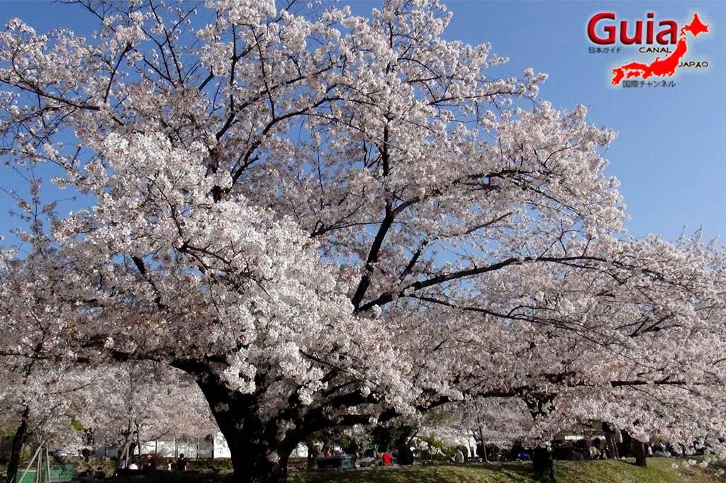 Okazaki Park - A spectacle of the sakura cherry blossoms 12