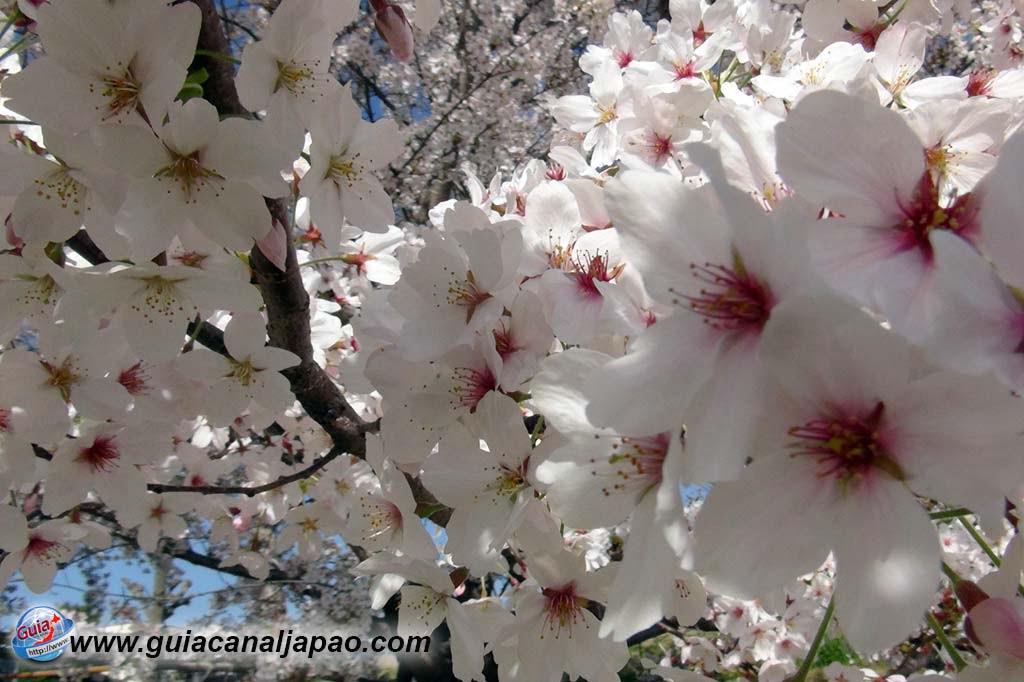 Parque Okazaki - Un espectáculo de los cerezos en flor de sakura 13