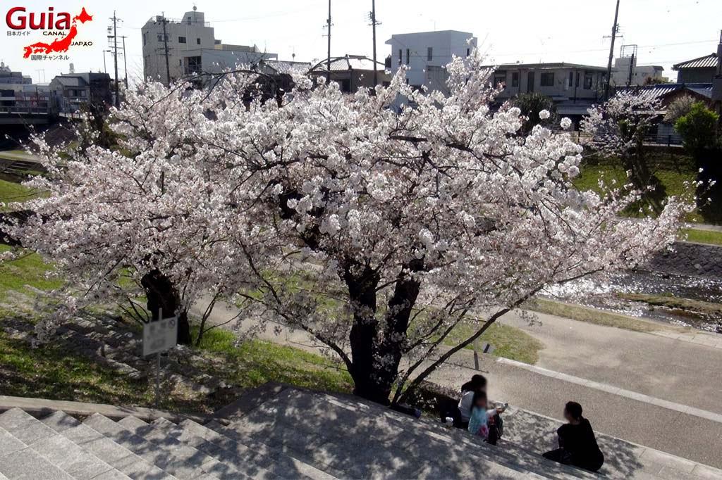 Parque Okazaki - Un espectáculo de los cerezos en flor de sakura 3
