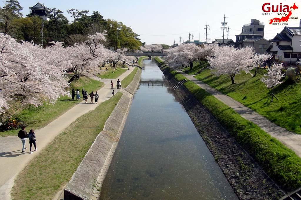 Okazaki Park - A spectacle of the sakura cherry blossoms 5