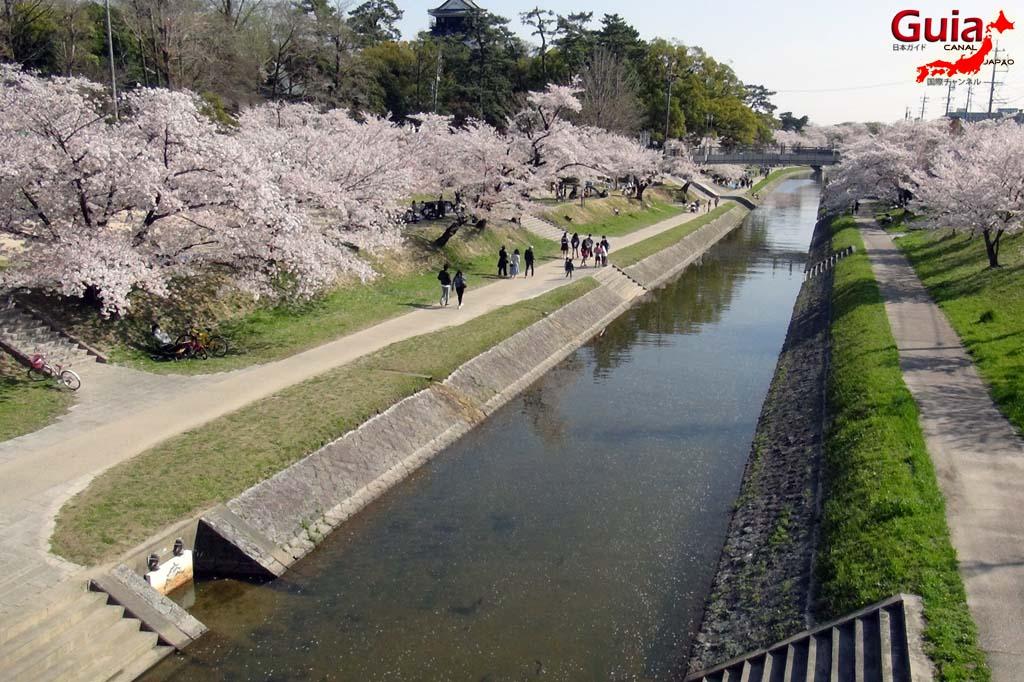 Okazaki Park - A spectacle of the sakura cherry blossoms 7