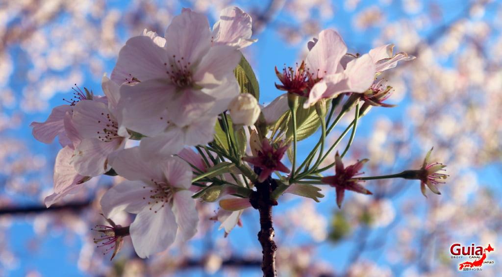 Сакура Ботагаикийн цэцэрлэгт хүрээлэн - Миёоши 「保 田 ヶ 池 公園」 10