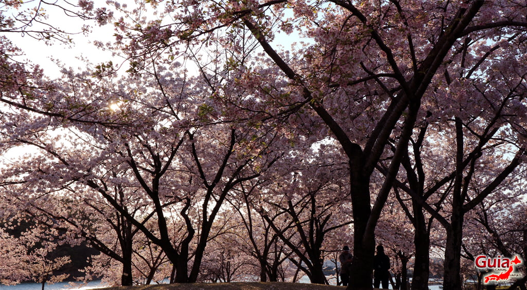 Сакура Ботагаикийн цэцэрлэгт хүрээлэн - Миёоши 「保 田 ヶ 池 公園」 12