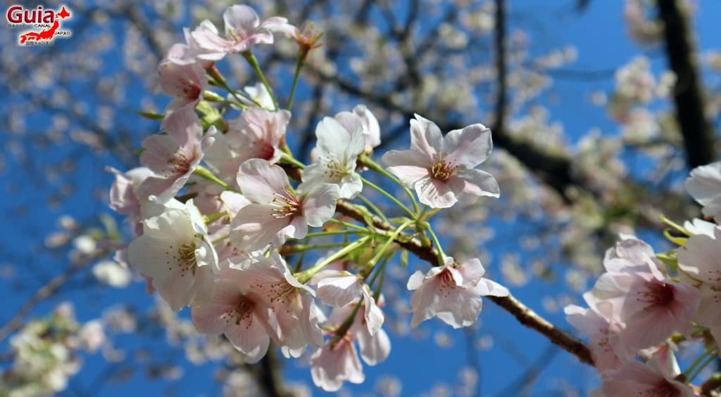 Сакура Ботагаикийн цэцэрлэгт хүрээлэн - Миёоши 「保 田 ヶ 池 公園」 5