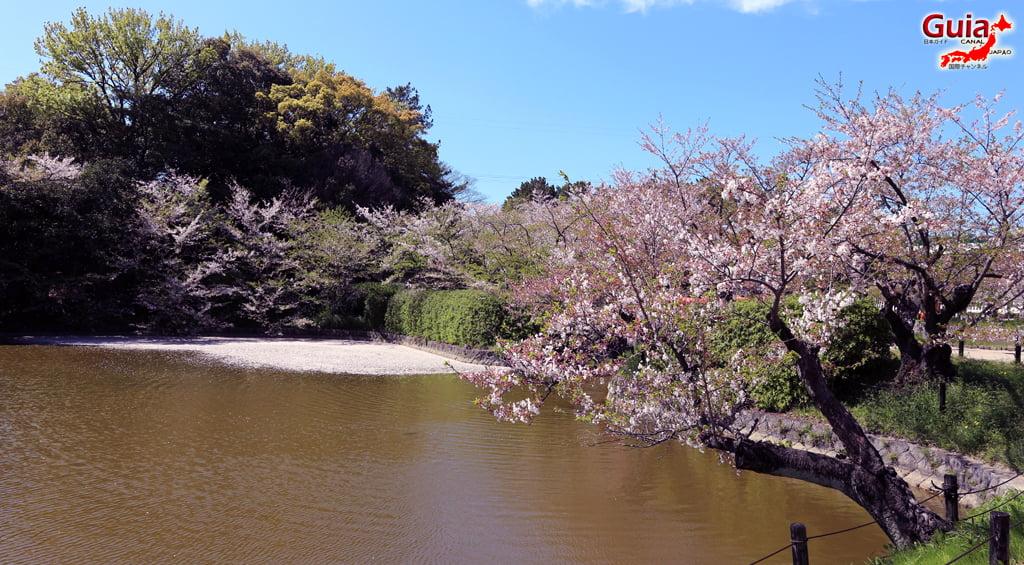 Сакура Кижо Парк - Кария 「亀 城 公園」 8
