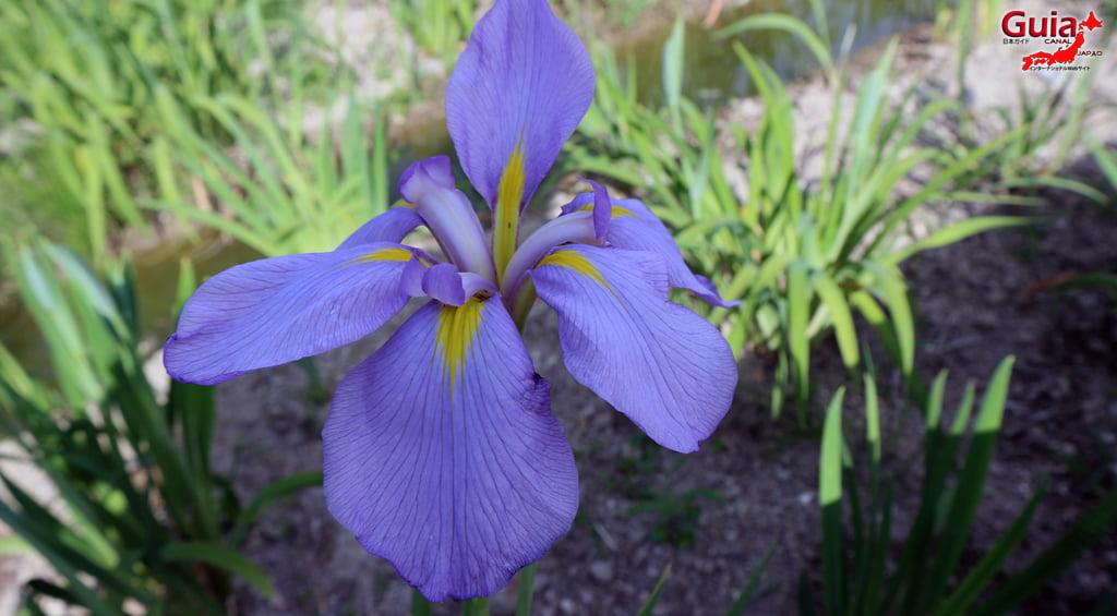 Iris Festival Shonai Ryokuchi Nagoya 7