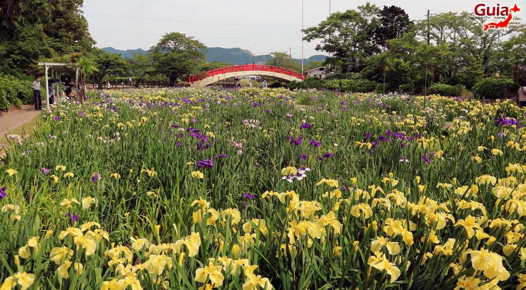 Hardin Iris Kamo Hana-Shobu Toyohashi 24
