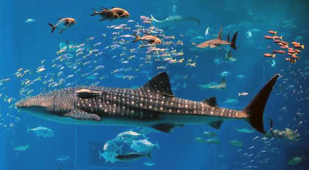 Ipinagpatuloy ng Osaka Aquarium ang aktibidad nito mula sa unang araw 1