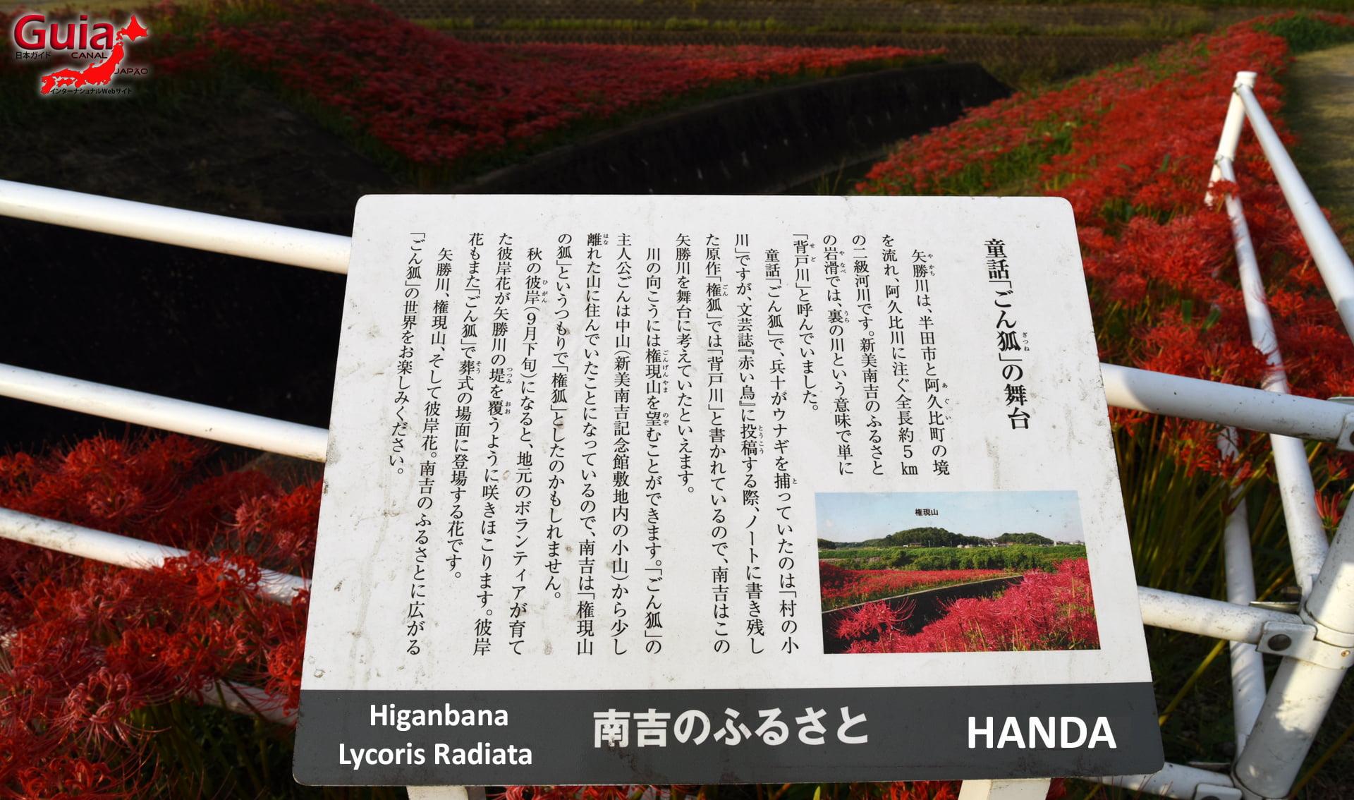 Higanbana de la ville de Handa - Lycoris Radiata 1