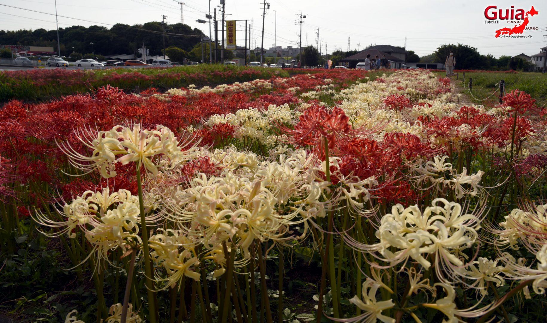 Higanbana da cidade de Handa – Lycoris Radiata – 2021 CANCELADO 2