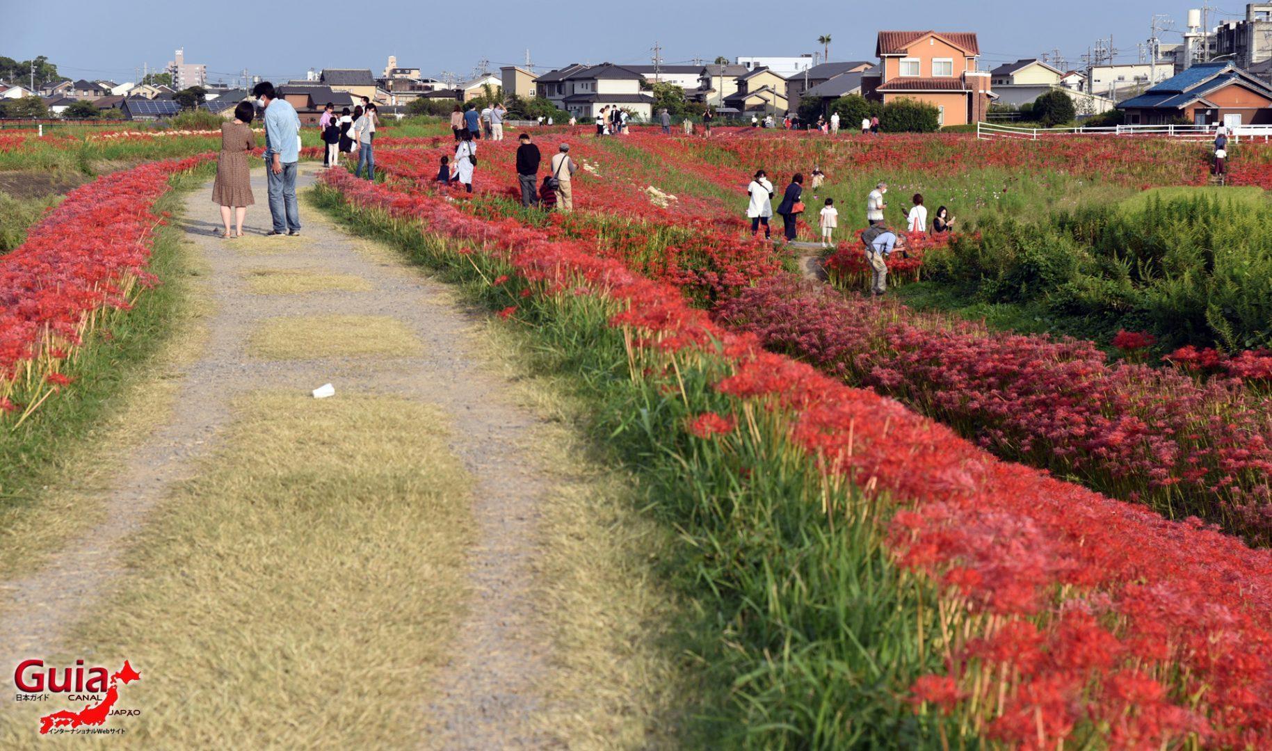 Higanbana da cidade de Handa – Lycoris Radiata – 2021 CANCELADO 10