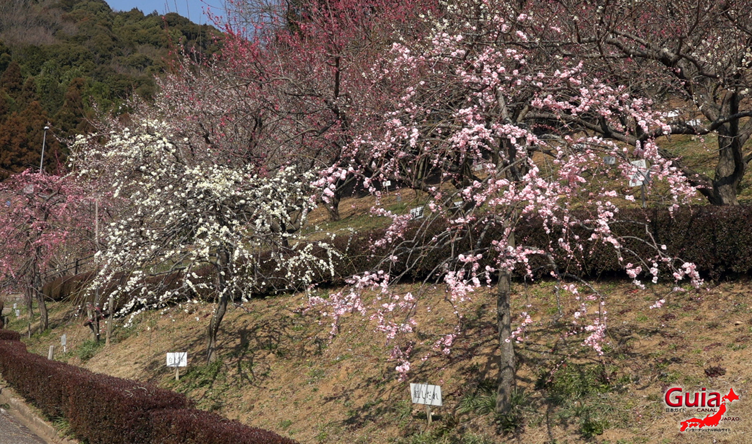 Plum Blossom Festival (Ume) - Akatsukayama Toyokawa Park 11
