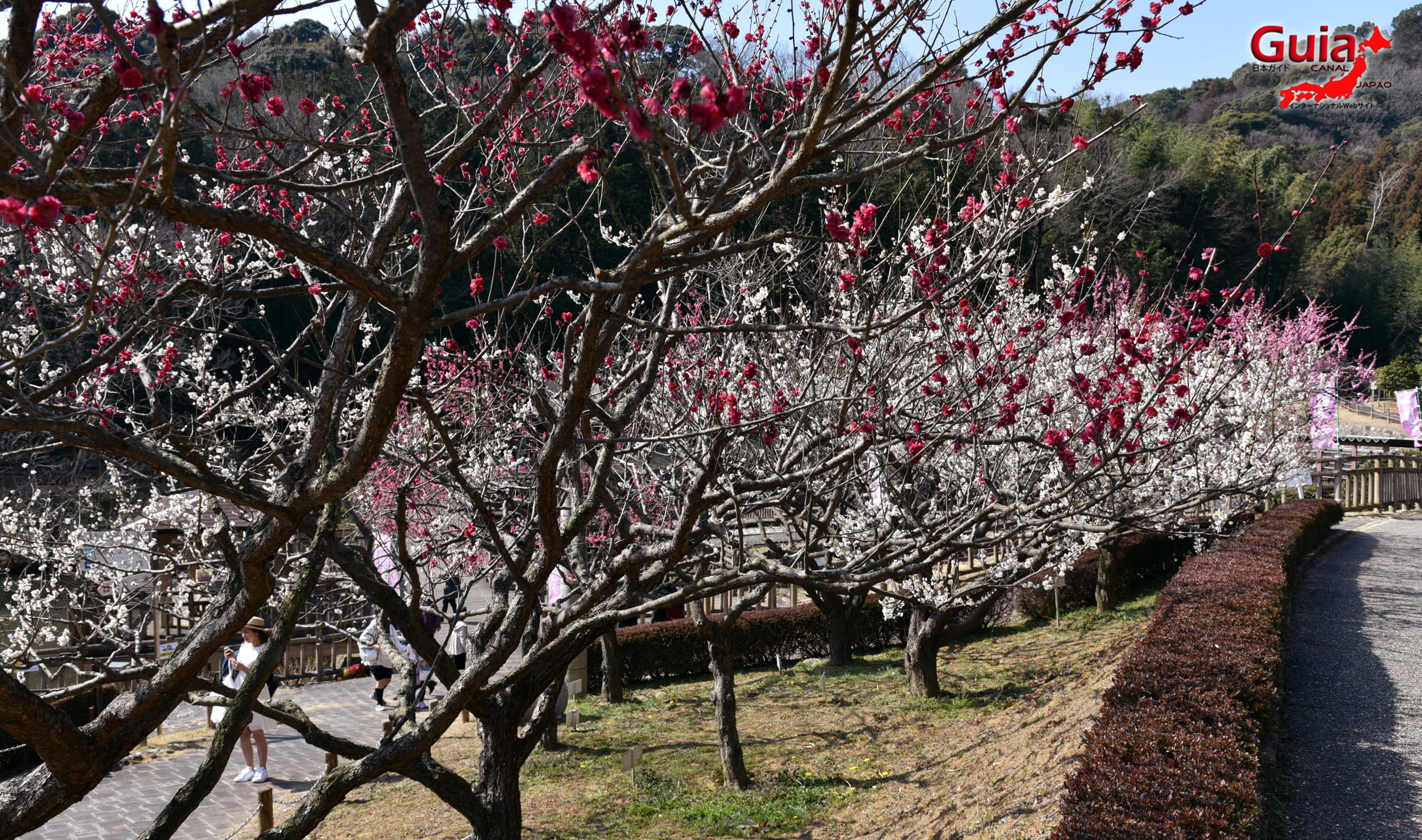 Plum Blossom Festival (Ume) - Akatsukayama Toyokawa Park 12