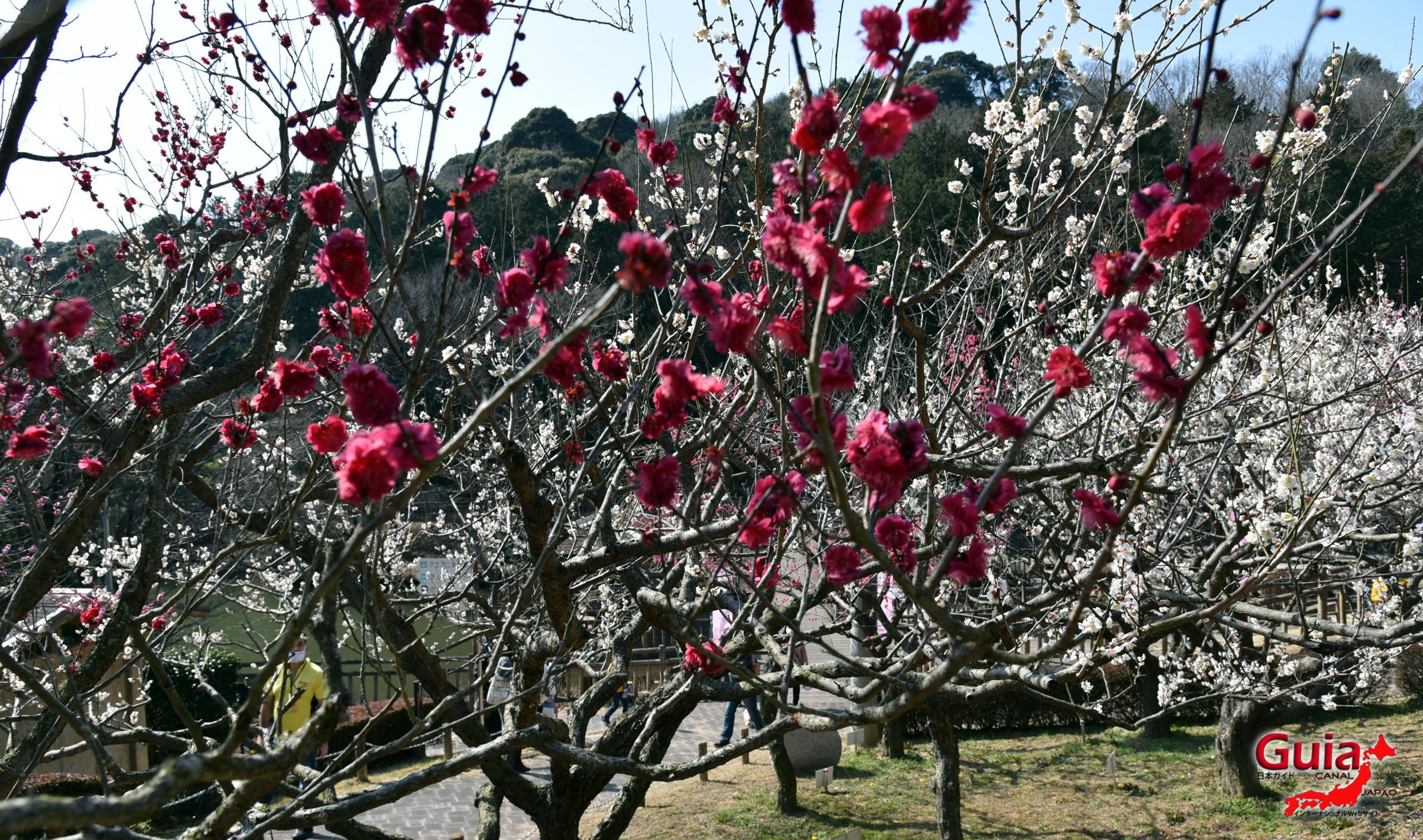 Festival Flor de Ameixa (Ume) - Parque Akatsukayama Toyokawa 15