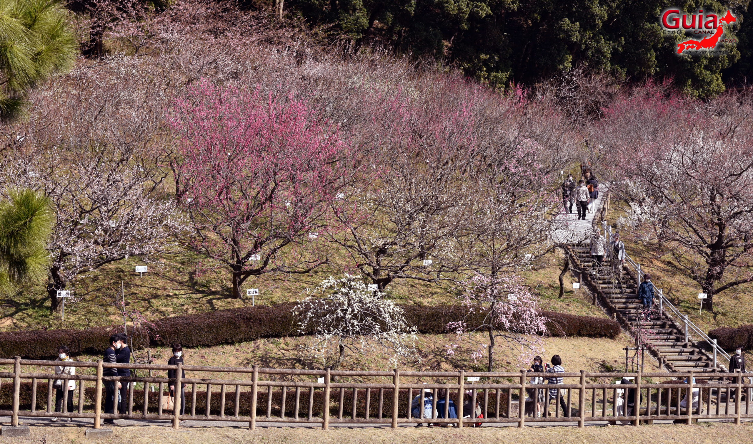 Festival Flor de Ameixa (Ume) - Parque Akatsukayama Toyokawa 3