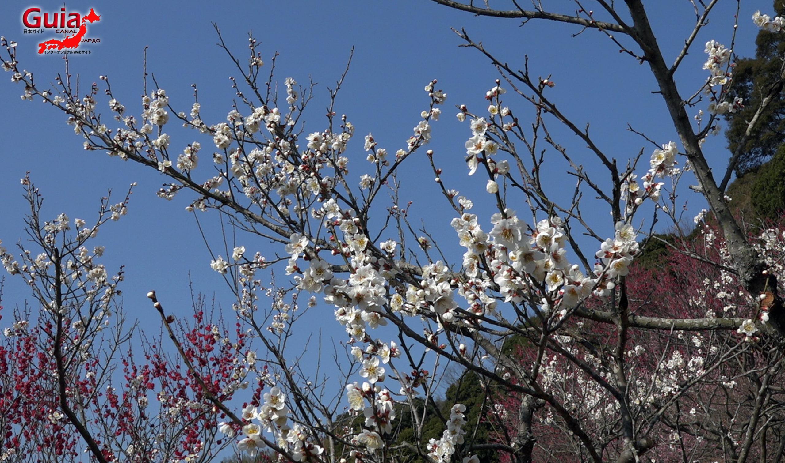 Plum Blossom Festival (Ume) - Akatsukayama Toyokawa Park 5