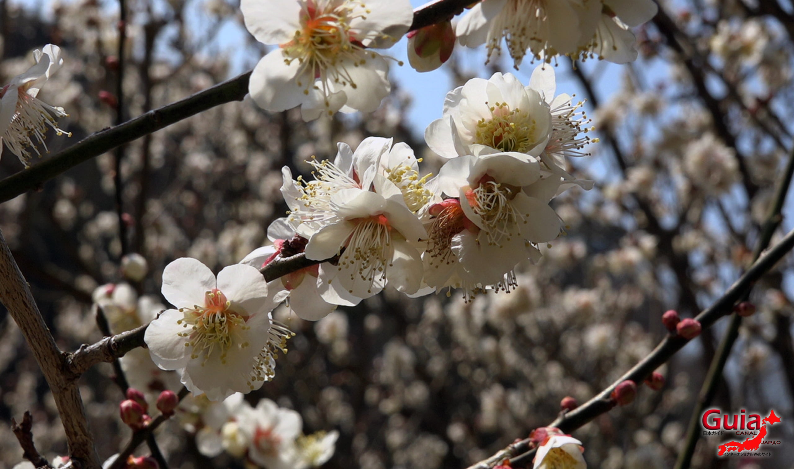 Plum Blossom Festival (Ume) - Akatsukayama Toyokawa Park 6