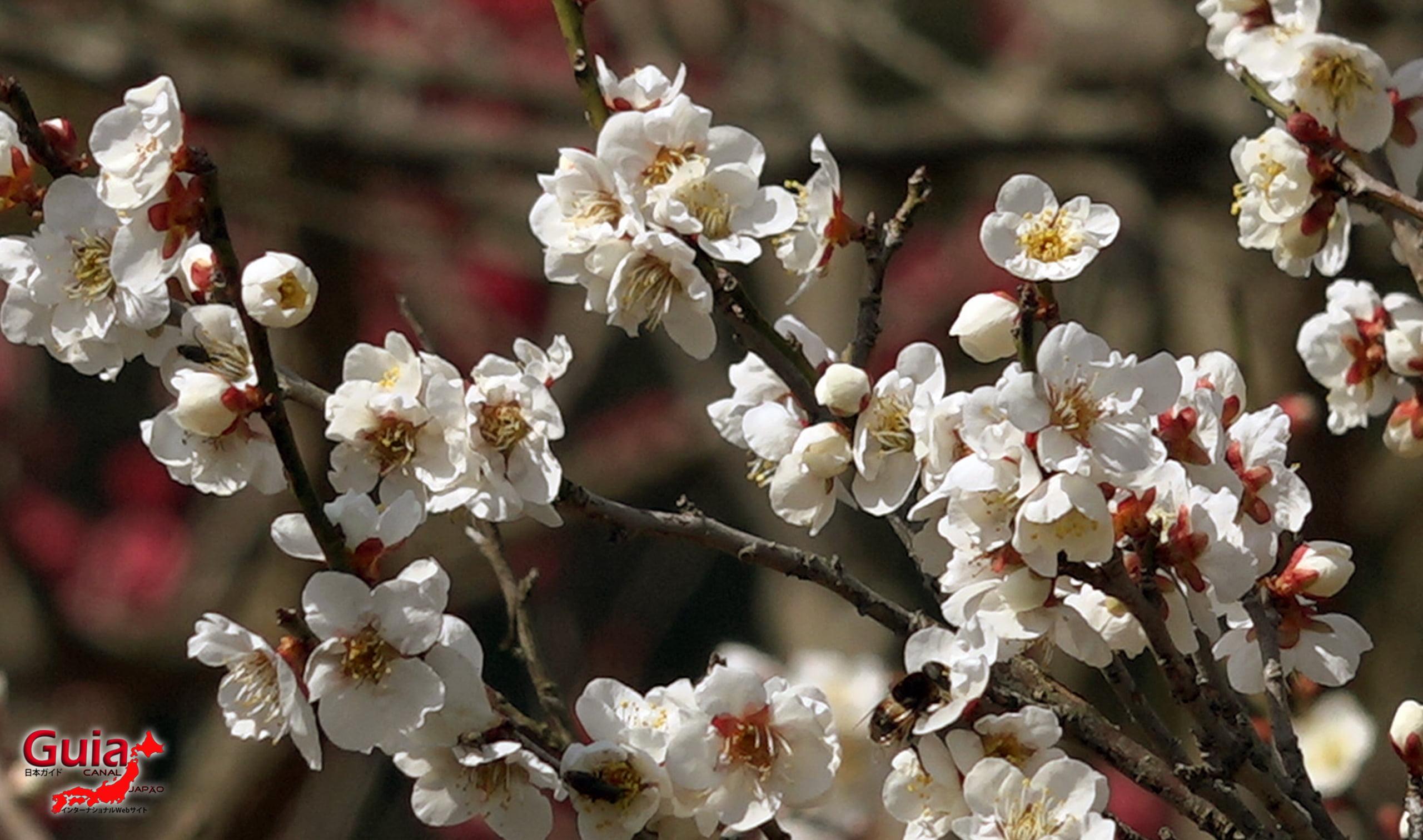 Plum Blossom Festival (Ume) - Akatsukayama Toyokawa Park 7