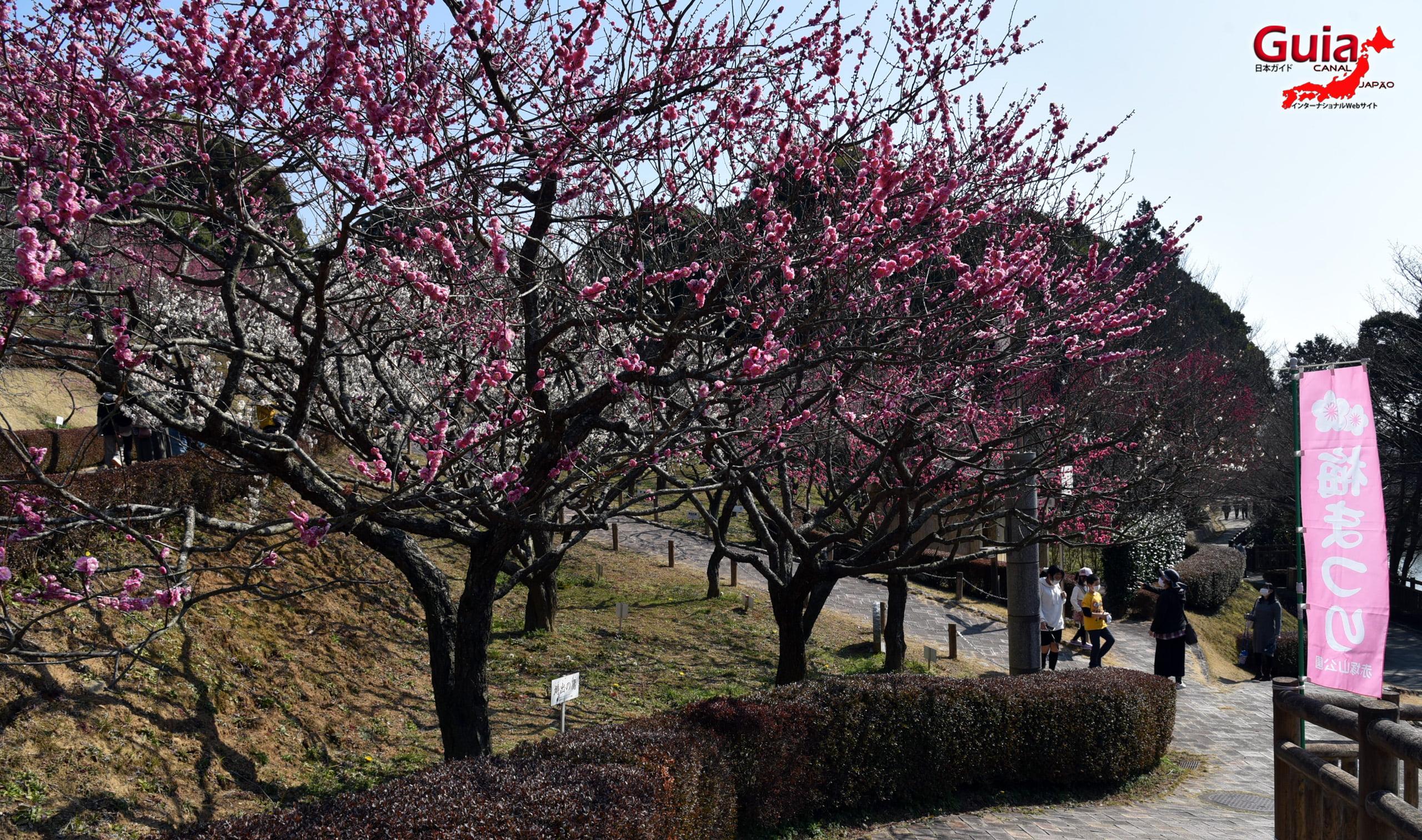 Plum Blossom Festival (Ume) - Akatsukayama Toyokawa Park 8