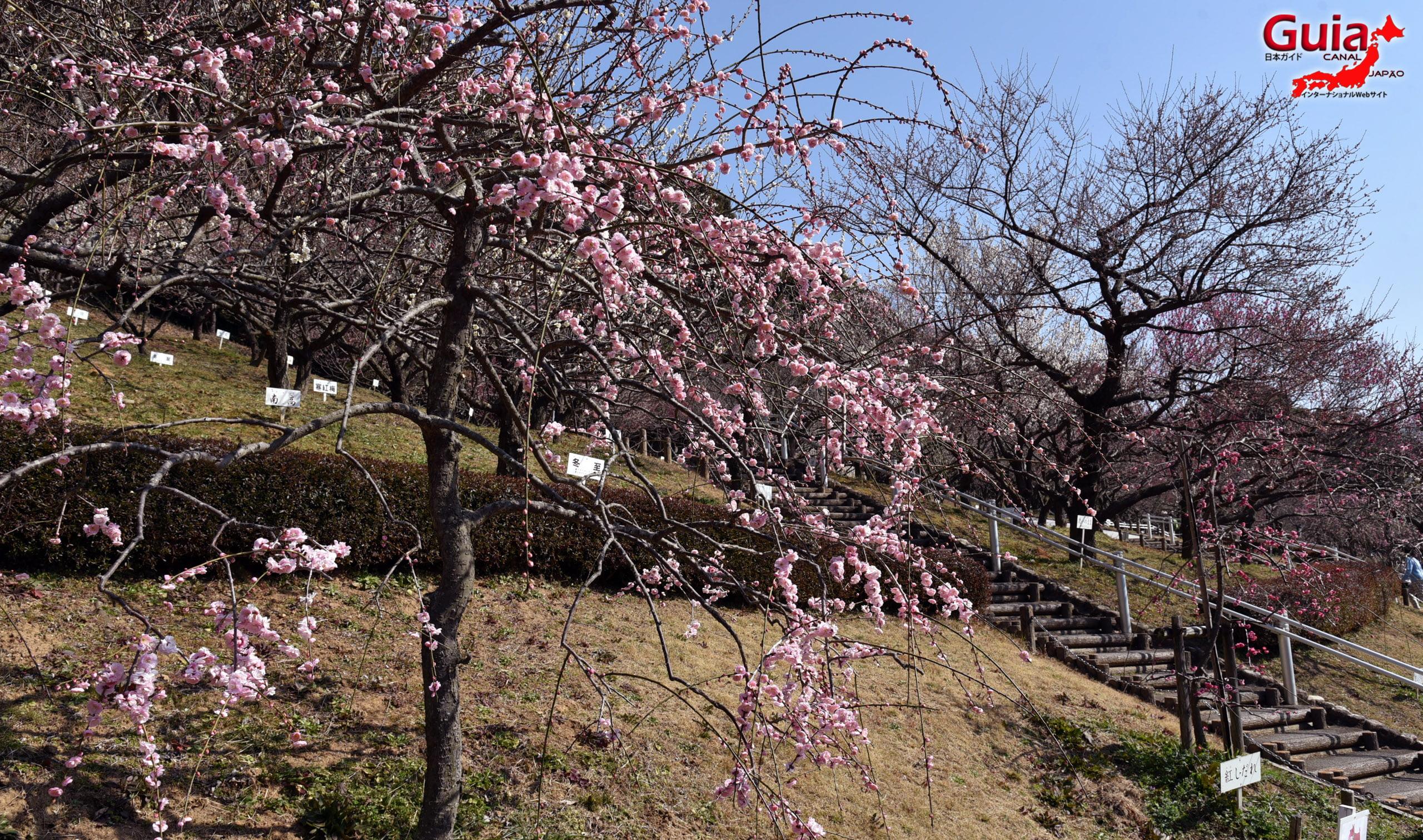 Plum Blossom Festival (Ume) - Akatsukayama Toyokawa Park 9