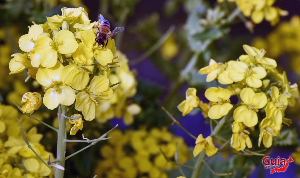 Festival de Flor de Colza e Cerejeira Kawazu do Rio Memedagawa 13