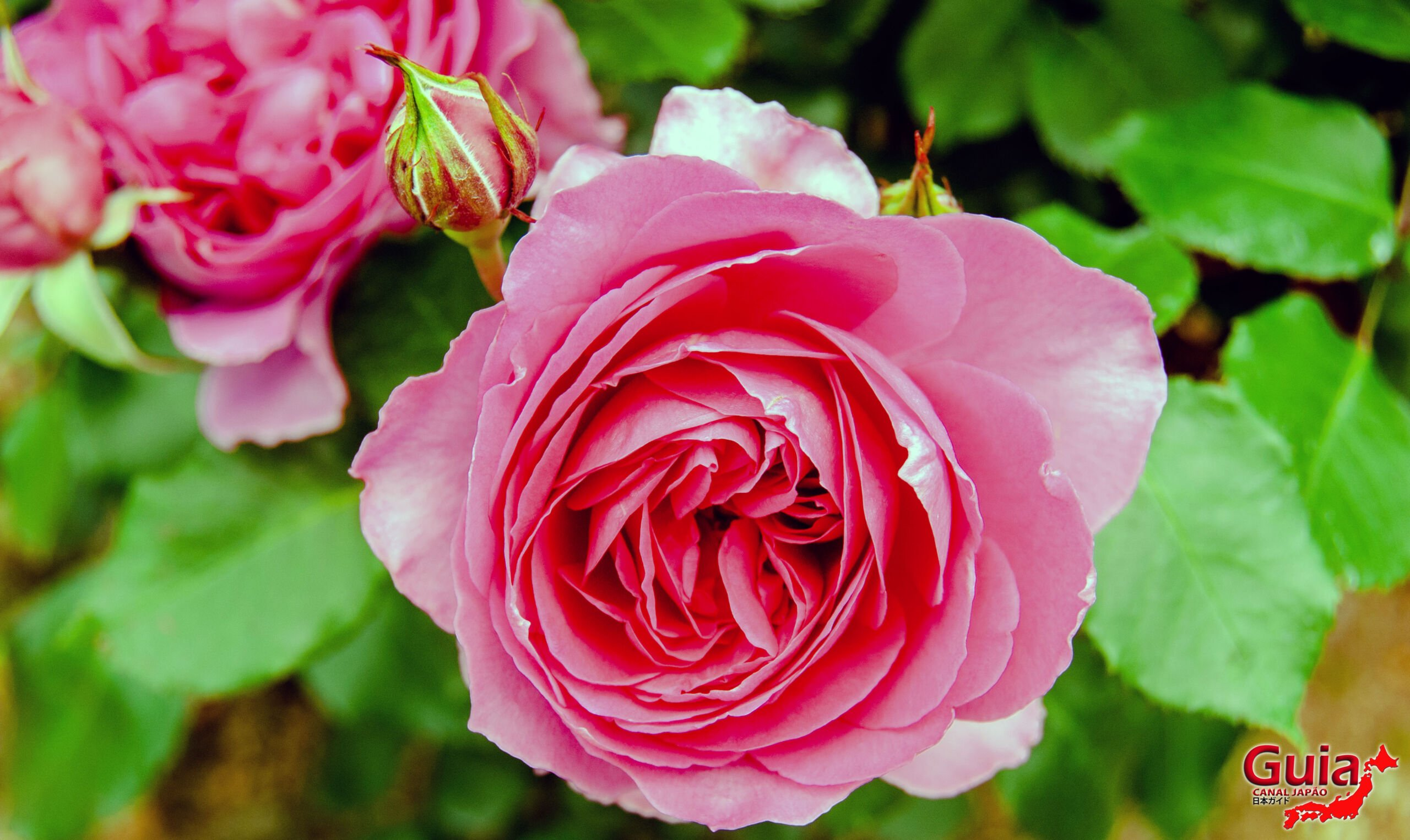 Jardim de Rosas - Bara no Miyako-en 6